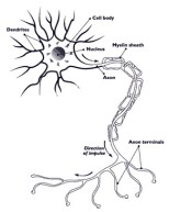 Nerve cell (image via Wikipedia)